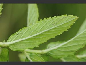 mentha_spicata_spear_mint_leaf_15-07-11_2.jpg